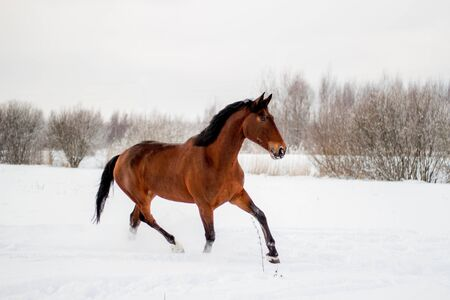Bay horse in the snow trotting free