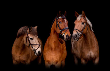 Portrait of three horses on black background together