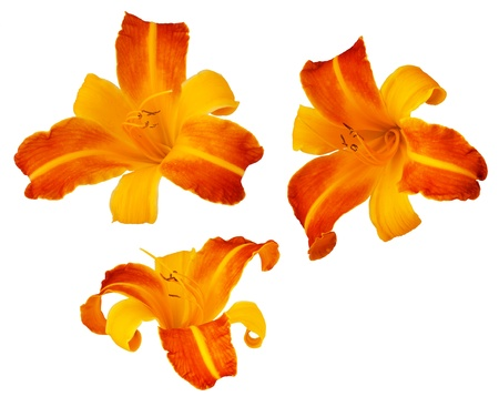 frans: Three Frans Hals bicolored daylillies isolated on white Stock Photo
