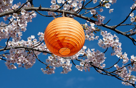 Hanami, japanese lantern in cherrytree