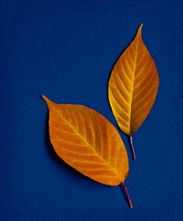Two autumnleaf in bright orange on a blue background Banco de Imagens