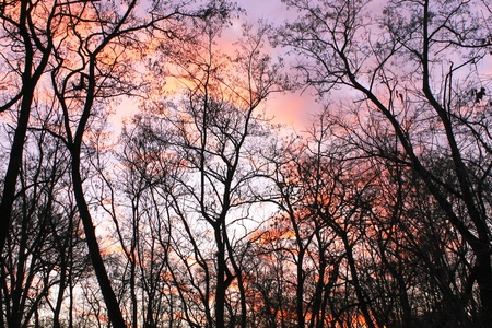 siloette: Sunset in forest trees without leaves