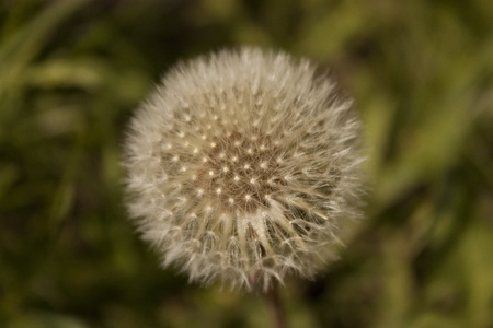Fluffy dandelion in the spring photo