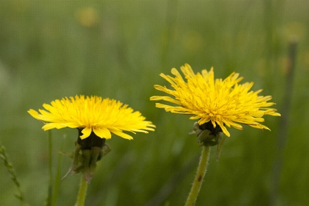 Couple of dandelions on a green background photo
