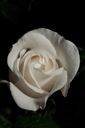 White rose on a dark background photo