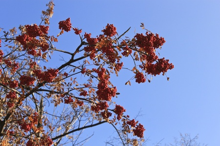Clusters of red ash against the blue sky photo