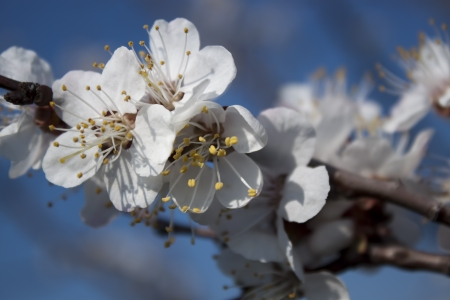 Spring, bright sunny day Sprig of flowering apricot photo