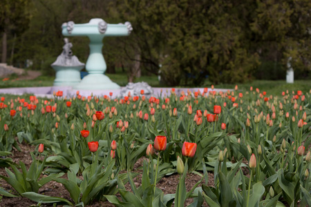 nonworking: Field of red tulips in the park on a background of non-working fountain Stock Photo