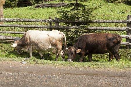 wander: Two cows wander along a wooden fence, nibbling the grass in a small ditch