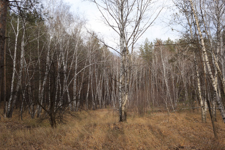 arbres: Birch Grove in the late autumn