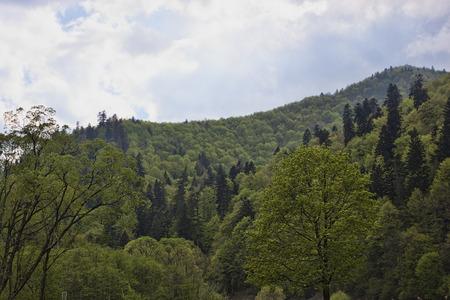 ukrainian: Ukrainian Carpathian mountains, covered with dense forests Stock Photo
