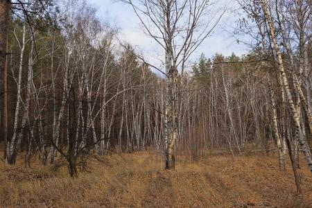 Autumn landscape. Birch grove in the autumn forest.