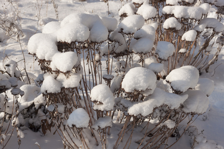 On a dry bush the snow caps. Winter, sunny day Stock Photo