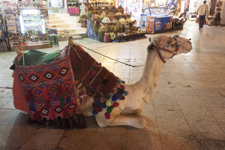 SHARM EL SHEIKH, EGYPT - FEBRUARY, 2018: Camel in the Old Market Sharm El Sheikh. Camel riding - still attracts many tourists