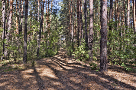 Path in the pine forest in early autumn Stock Photo