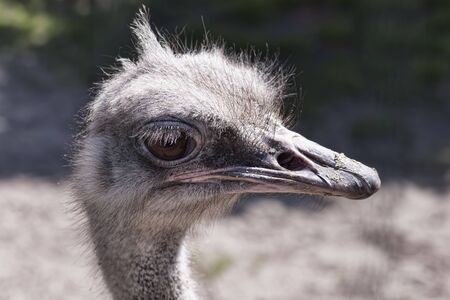 Head ostrich close up. Funny emotions, telephoto shot in the ostrich enclosure