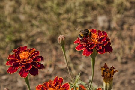Hairy bumble bee on Tagetes. The flower is also called a velvet or full-blooded Stok Fotoğraf