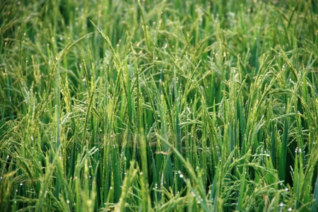 Paddies at the rice fields in Sleman, Yogyakarta, Indonesia  Stock Photo