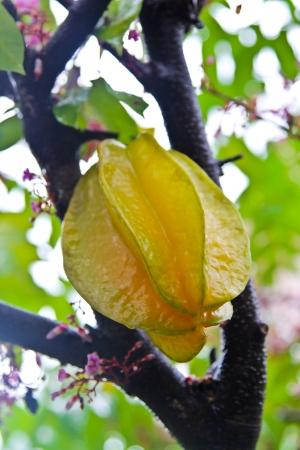 Star fruit hanging on tree