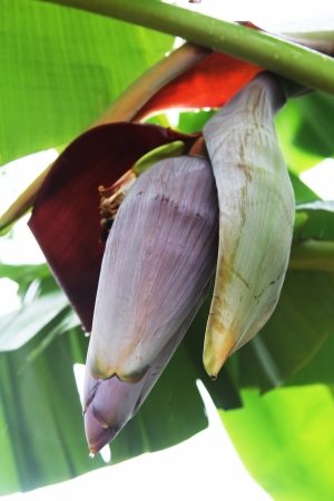 Banana flower hanging on tree