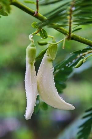 Agasta or Vegetable Humming Bird  Edible Flower in Thailand