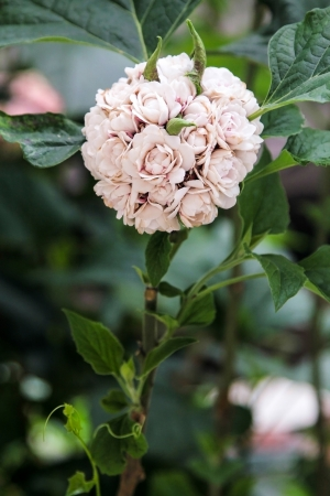 Blooming rose clerodendrum flower