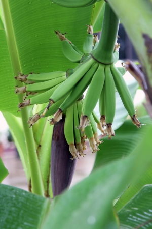 Bananas and Banana Flower hanging from the tree Stock Photo