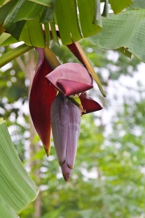 Banana flower hanging on tree