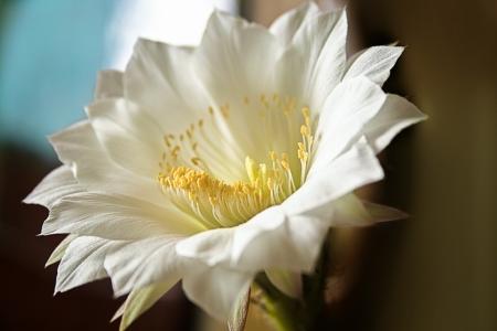 White Cactus flower   Stock Photo