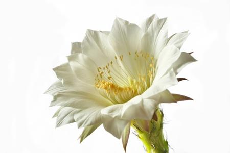 White Cactus flower on white background