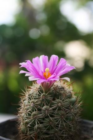 Purple Cactus Flower  Stock Photo