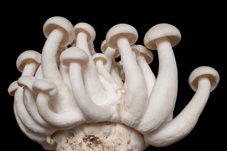 Shimeji Mushroom isolated on black background