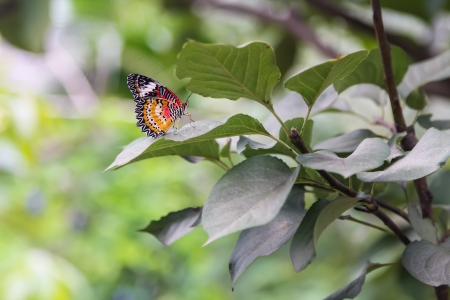 Butterfly on Chinese pear leaf