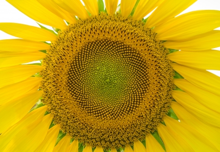 Closeup of Sunflower isolated on white background