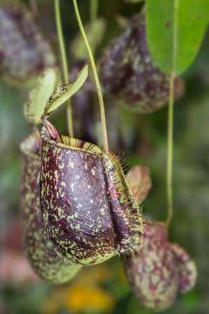 Nepenthes are tropical pitcher plants that can catch bugs by special configuration