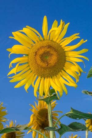 Sunflower in a field with sky background