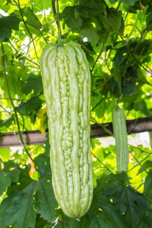 Momordica charantia often called bitter melon, bitter gourd or bitter squash  photo