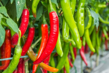 Red and green chilies growing in the vegetable  garden