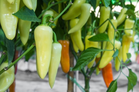 Green hot chili pepper hanging on tree in a  vegetable garden