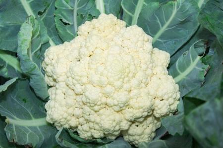 Cauliflower in a vegetable garden  Stock Photo