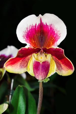 Colorful Paphiopedilum Orchid Stock Photo
