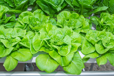 Fresh Romaine Lettuce vegetable in Hydroponic farm  Lettuce is most often used for salads