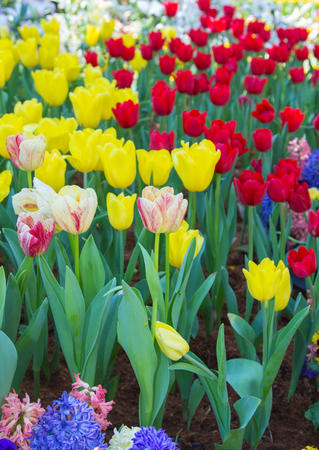 Colored tulip on nature background
