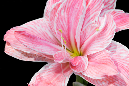 hippeastrum flower: Close up of Hippeastrum flower, bulbs flower  isolated on black background  Stock Photo