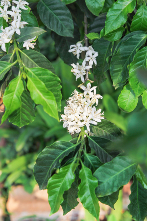 arabica: Arabica coffee tree in bloom Stock Photo