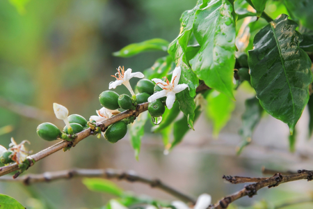 White Coffee flowers and ripe coffee beans on branch with water drop