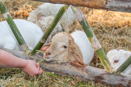 A sheep eating grass from childrens hand