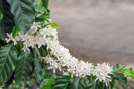 White blooms of arabica coffee on tree in blur background.