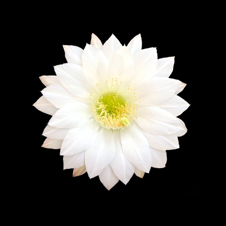 White Cactus flower isolated on black background with clipping part. Stock Photo