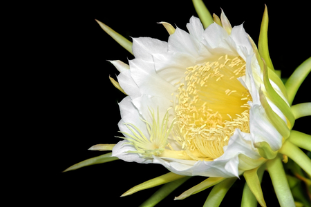 androecium: Dragon fruit flower on blooming hylocereus cactaceae on black background.